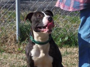 Dallas/Playful Staffordshire Bull Terrier Mix